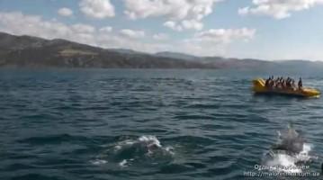 Стая дельфинов в поселке Рыбачье